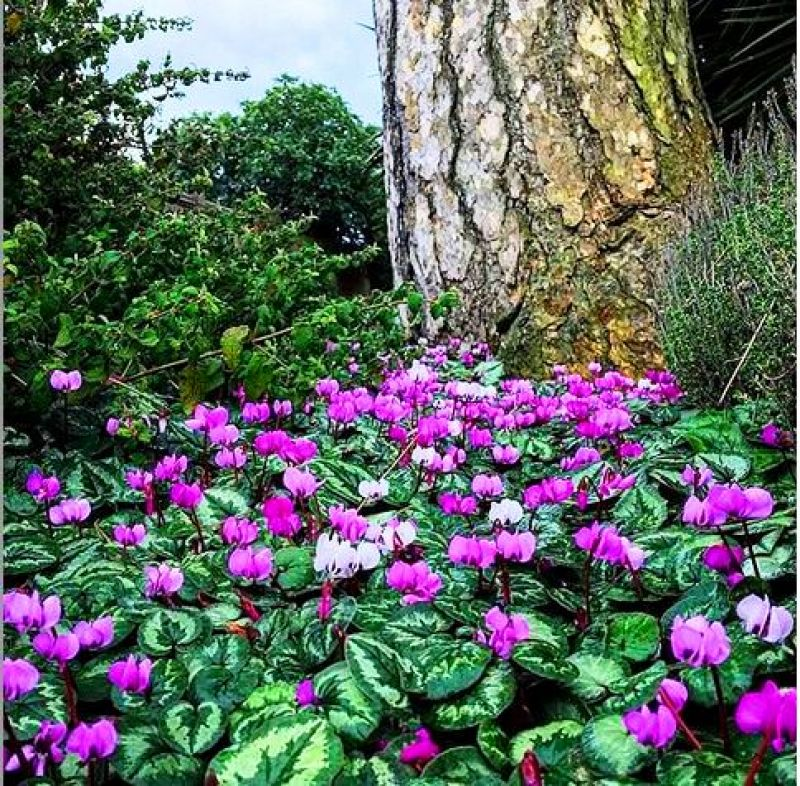 Cyclamen hederifolium also known as Cyclamen. (Photo: https://www.instagram.com/p/BXnFhjpgwzZ/)