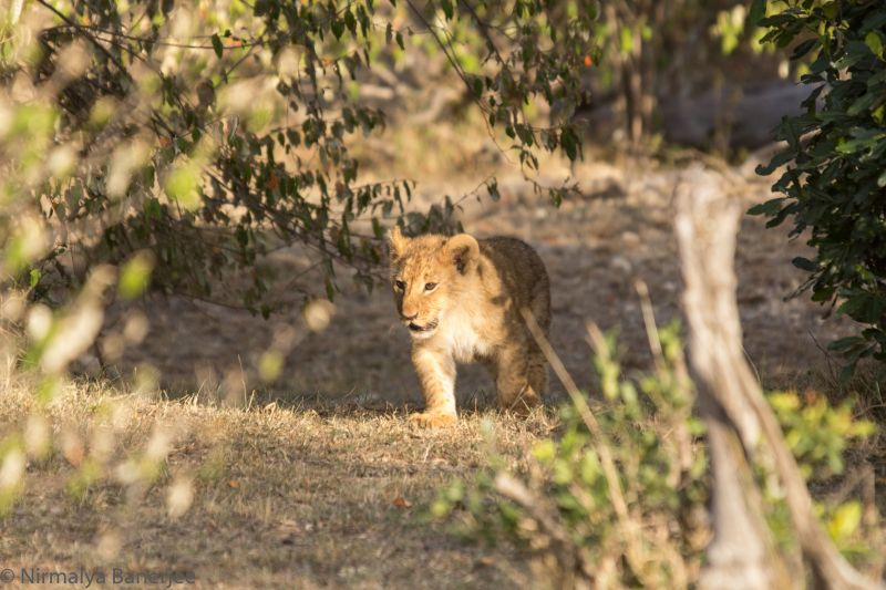 A 3 month old cub comes out of the bush. This was at least 200m from the main road and we would have missed this in a National Park.