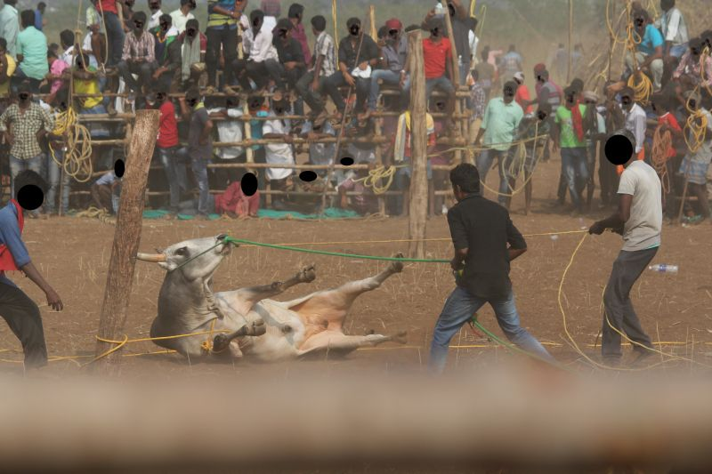 A bull falls to ground due to rough handling of noseropes in Chettipalayam