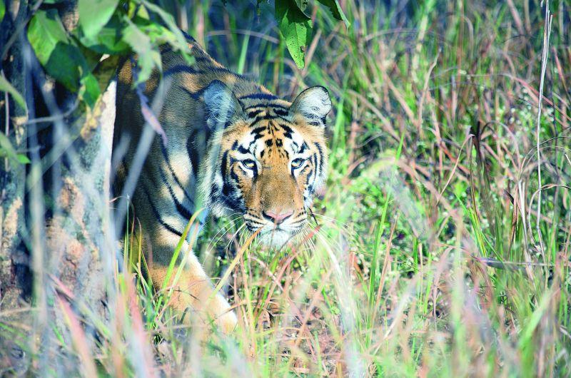 A tiger emerging from the thicket at Telia, Tadoba Maharashtra