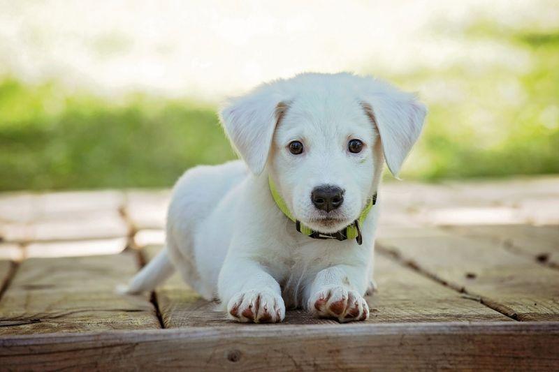 Cute Labrador pup (Photo: Pixabay)
