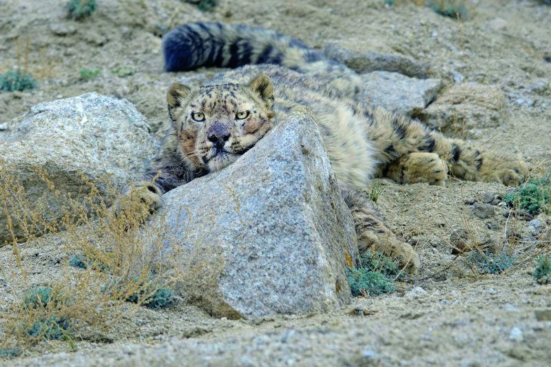 Snow Leopard, Ladakh.