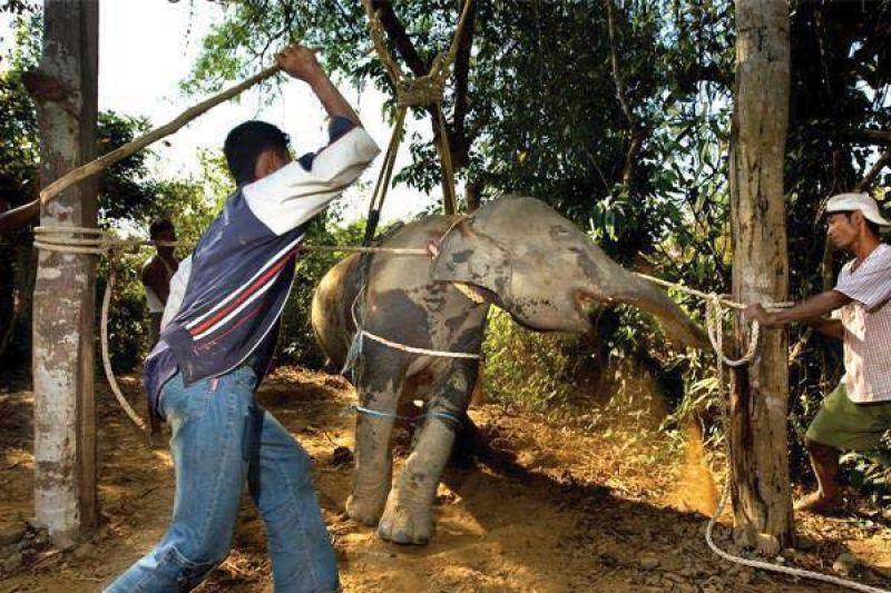 captive elephants