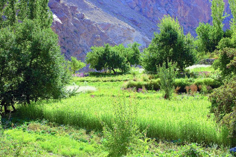 Lush green fields in village Dha where a variety of crops and fruits grow