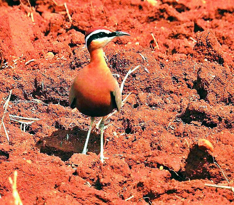 Indian courser; photographed by Mulagala Srinivas