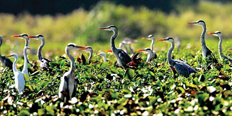 Kaikondrahalli Lake - Ibis
