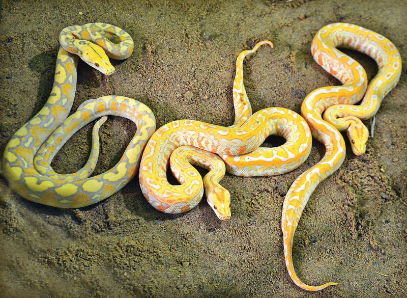 Foreign reptiles add hiss to Chennai Snake Park