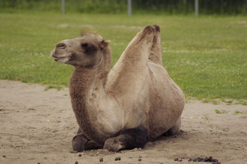 Pam's camel lay on top of her straddling her until she ran out of oxygen and died