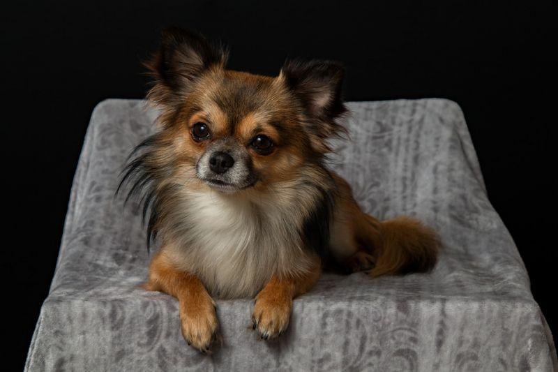 Chihuahua (Photo: Pixabay)