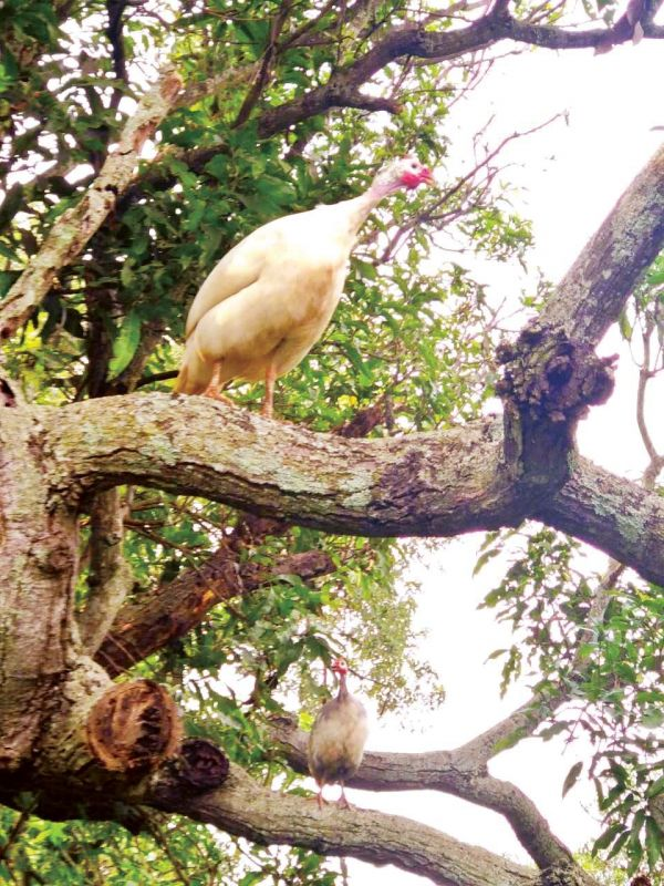 Peacocks along with other birds Feast on varieties of mangoes at ghani orchard