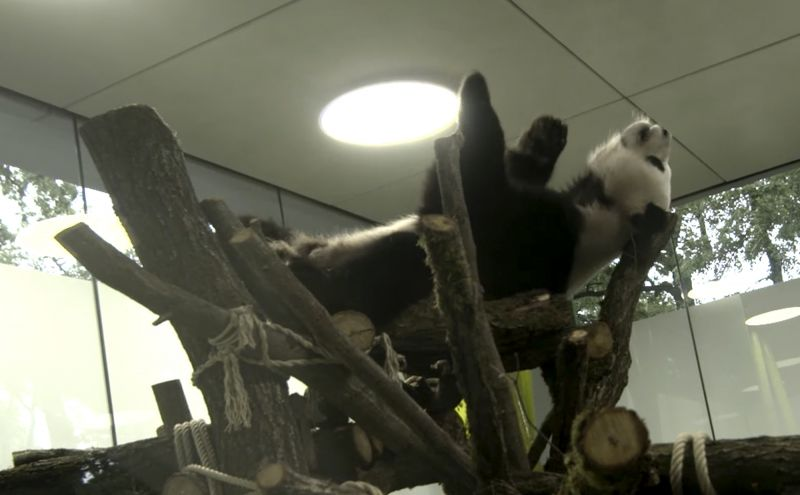 The grab from a video released by the Berlin Zoo shows the giant panda 'Jiao Qing' during an exploration of the new part of the Panda enclosure in Berlin, Germany, Tuesday, June 27, 2017. After a successful familiarization during the past 48 hours, the pandas already investigate another area of the large Panda Villa. (Zoo Berlin via AP)