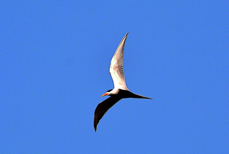 Black-bellied tern; photographed by  R.K. Balaji.