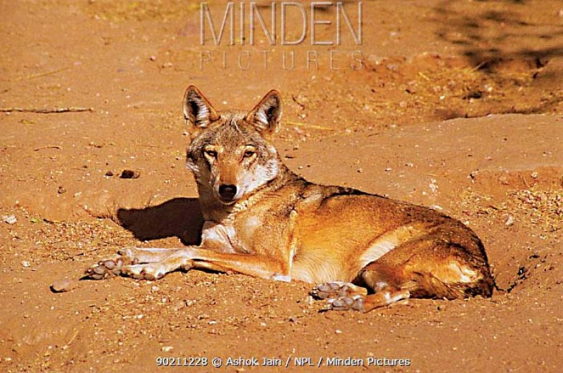 This may not have mattered except that these images are from the Melkote Wolf Sanctuary