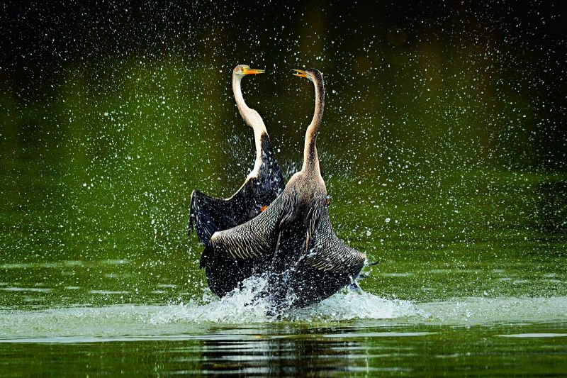 Territorial fight indian darter