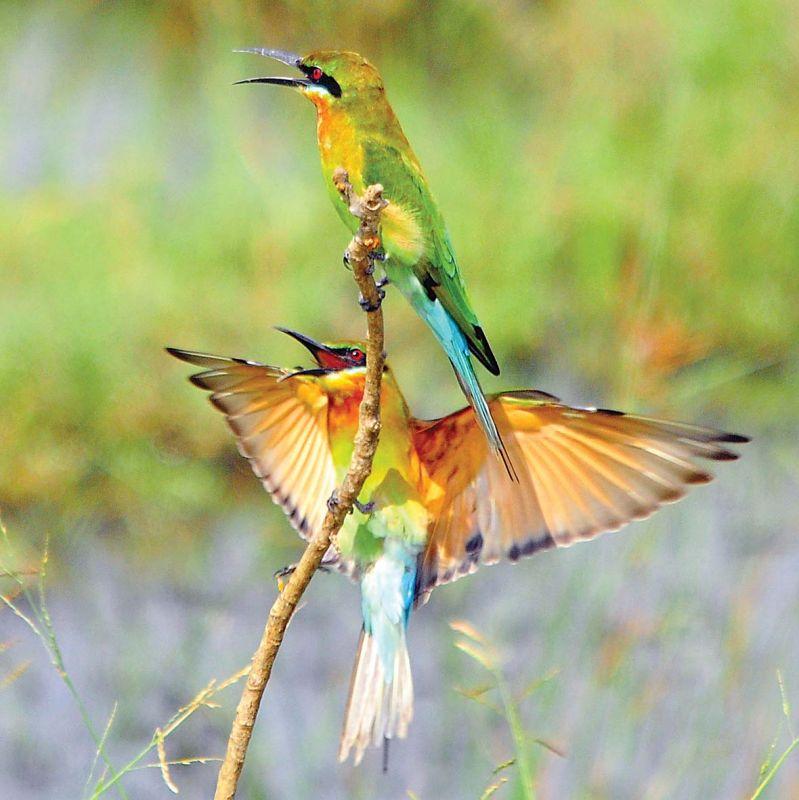 Blue tailed bee eater at Pallikarnai marsh land