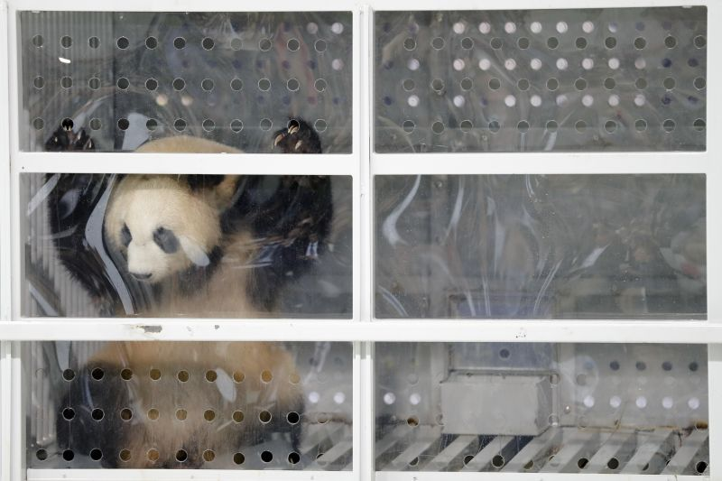 Two giant pandas from China have landed safely in Berlin where they are being welcomed by the German capital  (AP Photo/Markus Schreiber)
