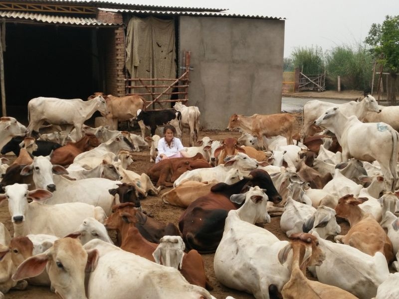 Once a cow reaches her 3,300 sq yard gaushala, she would take full care of the animals by providing food and medicine. (Photo: PTI)