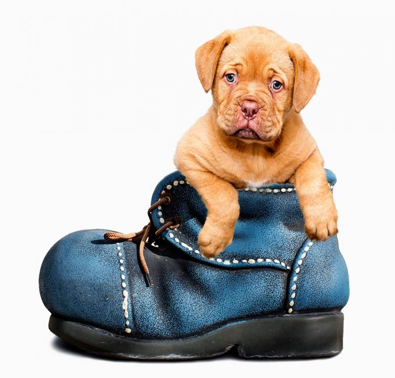 Cute pup looks on from inside a boot (Photo: Pixabay)