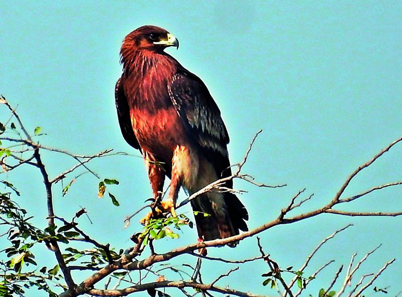 Greater Spotted eagle; photographed by Mulagala Srinivas.