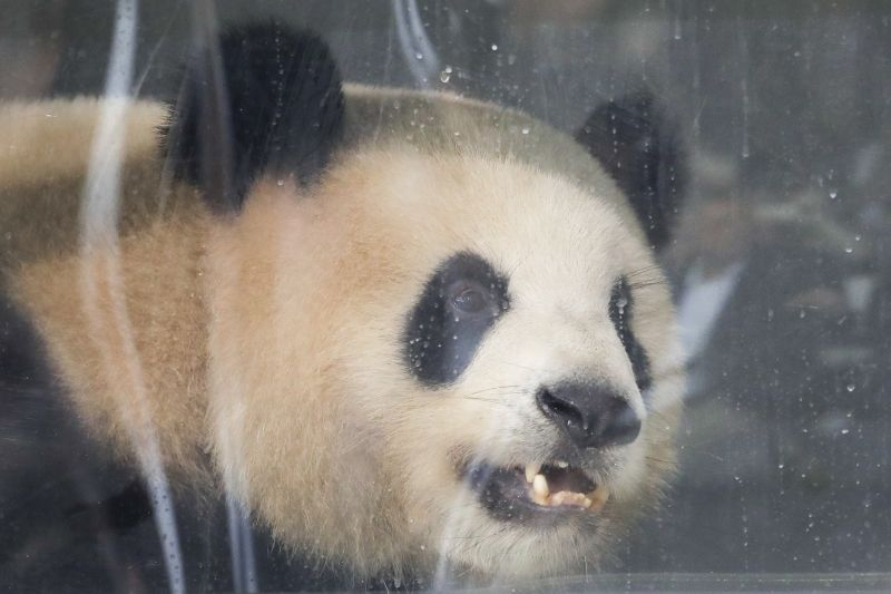 Giant panda Jiao Qing looks out of its container during a presentation after the arrival from China at the airport Schoenefeld near Berlin. (AP Photo/Markus Schreiber)