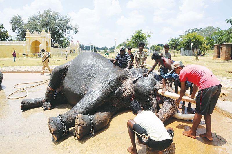 Mahouts giving a bath to a Dasara elephant in Mysuru  (Photo: DC)