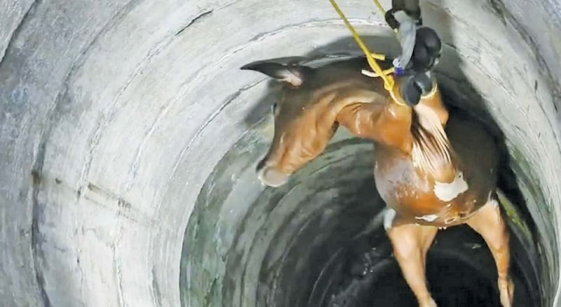 A cow being rescued from a well