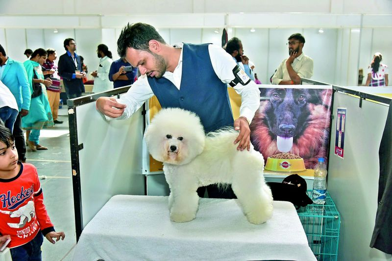 A well-groomed Bichon Freeze