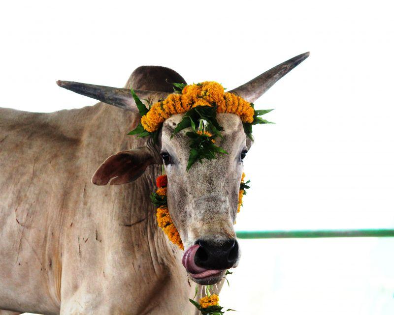 Merry, the bull