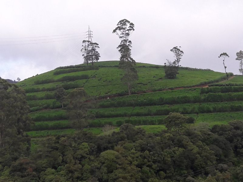 A tea garden in Sri Lanka