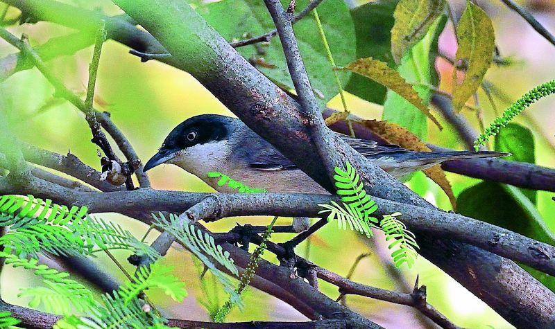 An Orphean Warbler shot by Mangesh Singh Thakur.