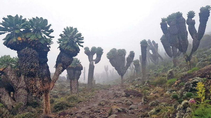 The trail road which leads to Mt Kilimanjaro has a thick vegetation.