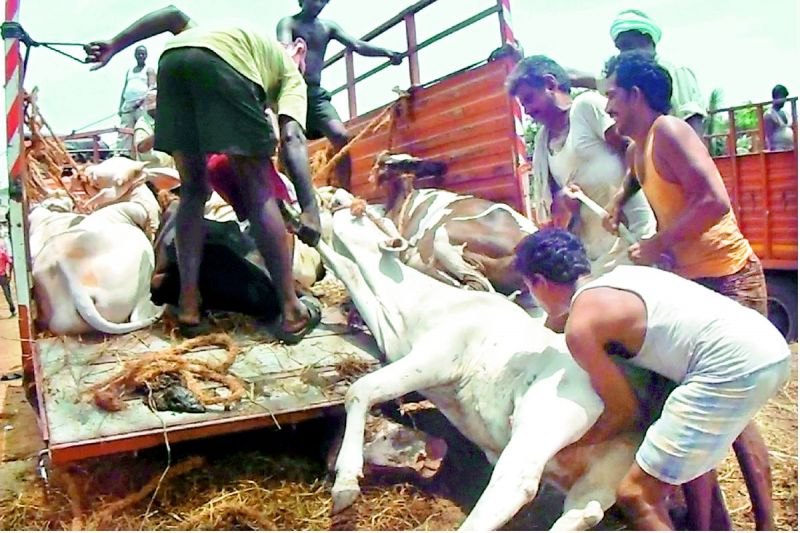 No mercy for cattle