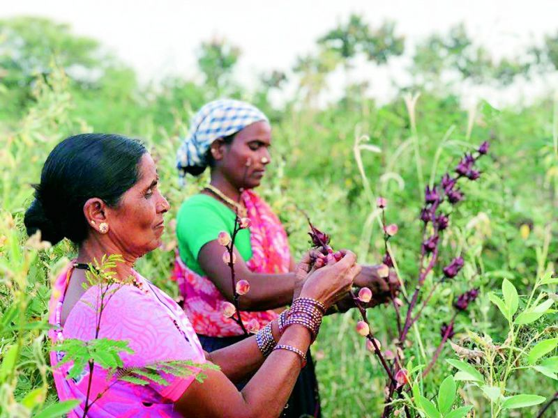 Women harvesting Jamaican rosella at the Aranya permaculture farm in Bidakkane, Telangana