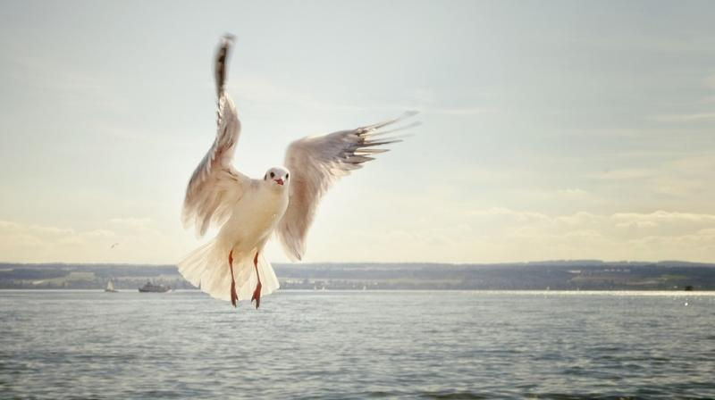 Gulls in Dorset, Devon and Somerset showing signs of drunkenness