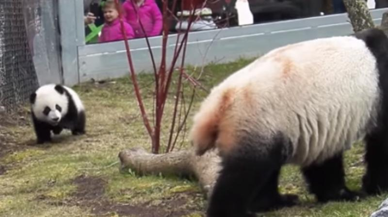 Tumbling around and falling over was a normal and expected part of the play of the giant panda cubs. (Photo: Youtube/Toront Zoo)