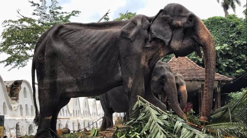 'Considering what has transpired, I have ordered officials to initiate an inquiry and ascertain how and why an elephant in such poor health was used in the perehara (pageant) and to take necessary action against those responsible,' wildlife minister John Amaratunga said. (Photo: Facebook   @SaveElephantFoundation)