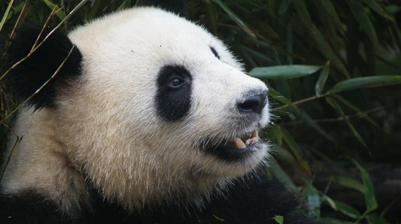 Cao Cao the panda gave birth to a male cub. (Photo: Pixabay)