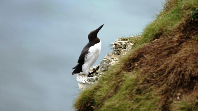 High winds and stormy winter seas could affect guillemots' feeding patterns, experts said. (Photo: AFP)