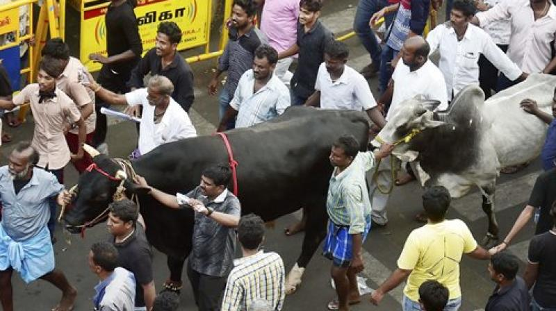 oungsters and students participate in a protest to lift the ban on Jallikattu and impose ban on PETA, at Kamarajar Salai, Marina Beach in Chennai on Friday. (Photo: PTI)