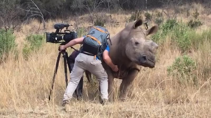Video: Adorable rhino asking cameraman for belly rub in the wild