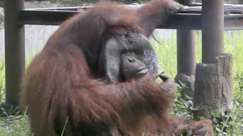 This not the first that a zoo orangutan has been caught sneaking a smoke in Indonesia (Photo: Facebook)