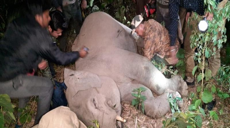 The injured calf was found and tranquilised and treated by a veterinary surgeon.  (Photo: ANI)