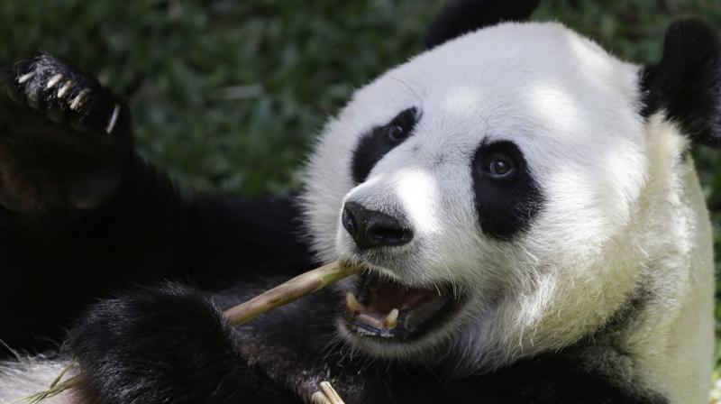 In addition to their valuable dung, pandas also produce 50 kilogrammes of food waste every day from the bamboo husks they spit out after chewing.(Photo: AP)