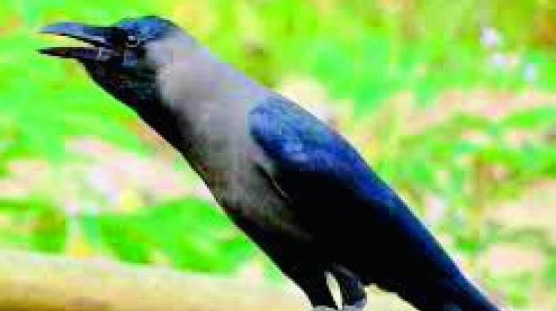 While house crows topped the list in the south, many said crows and sparrows are not common anymore.