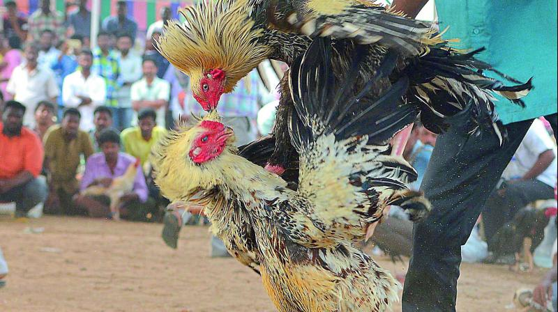 The organisers, with the help of politicians, are holding deadly cockfights in which sharp knives are tied to the legs of the birds in the arenas.
