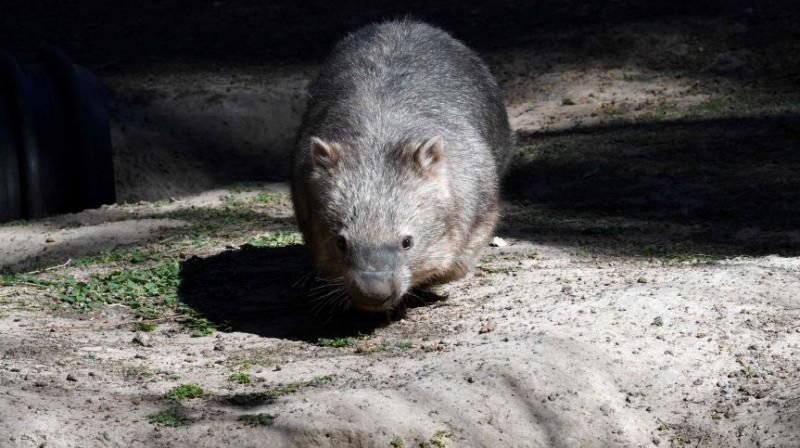 Australia's three wombat species face threats to their survival from predatory dogs, diseases and competition for food from kangaroos. (Photo: AFP/File)