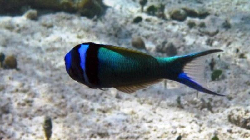 Sex reversal in dragons and the wrasse involve some of the same genes. (Photo: ANI)