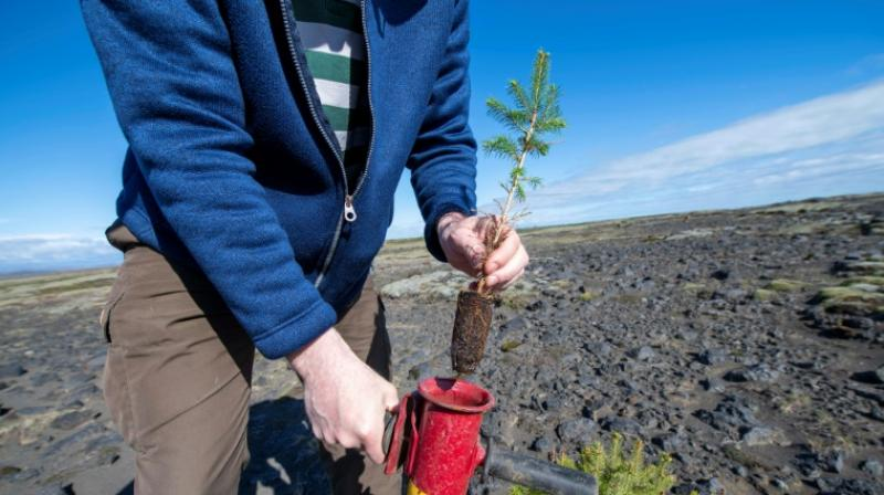 Despite the birch being native to the soil, afforestation efforts often focus on other species of trees. (Photo: AFP)