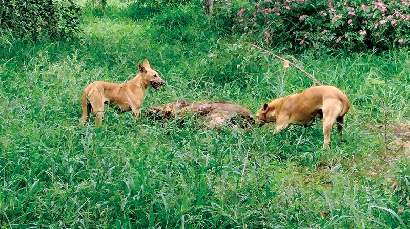 Stray dogs feed on the carcass in the Hosur livestock farm. (Photo: DC)