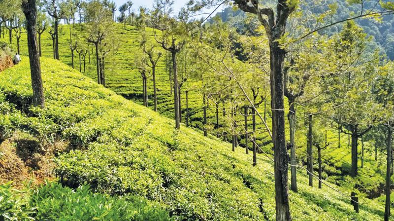 Tea gardens in Nilgiris.
